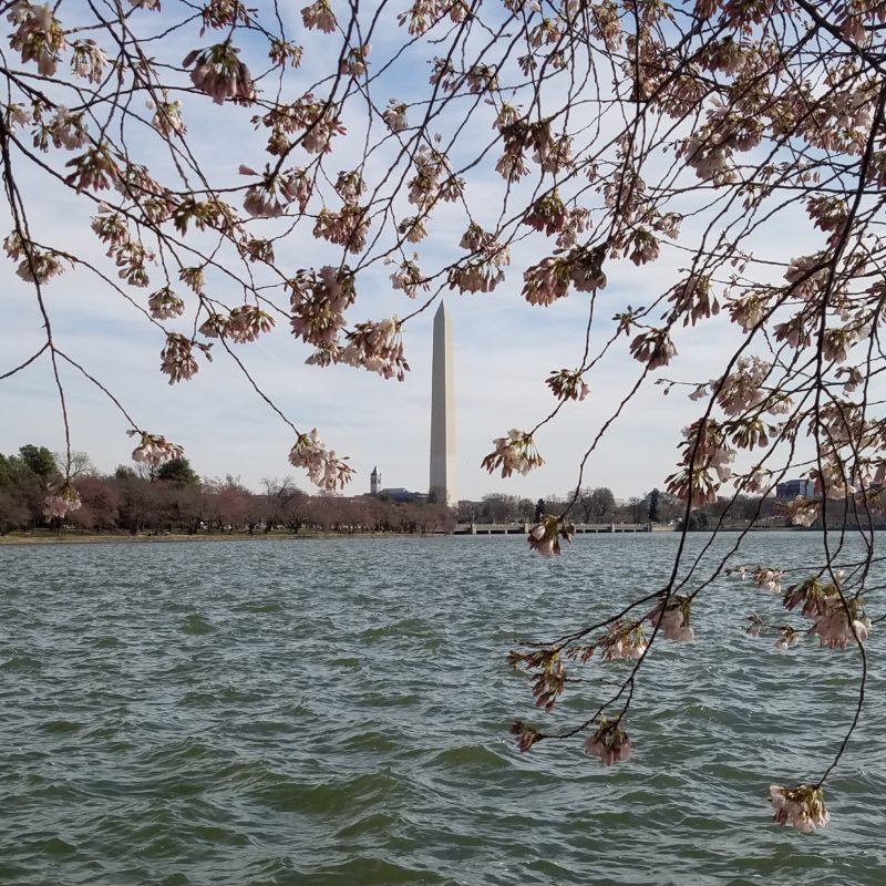 A Vaguely Successful Trip to See the Washington, DC Cherry Blossoms 2017